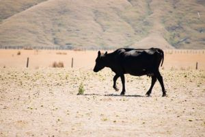 Cow in dry weather, Wairarapa.  Photo Dave Allen, NIWA