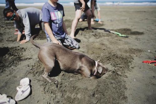 At Bethells Beach, this dog was resolutely on-message for #HeadsInSandNZ. Photo credit: A. Rogers / NZ Greens